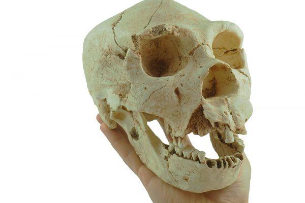 Homo heidelbergensis. Atapuerca. Craneo 5. Pleistoceno medio.Miguelón